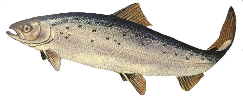 Atlantic salmon. Salmo salar.